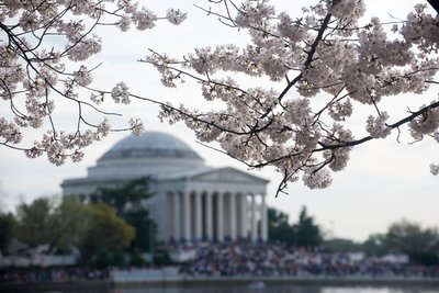 Cherry Blosson og Jefferson Memorial